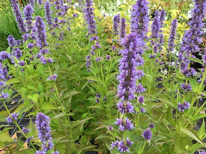 Agastache ′Blue Fortune′