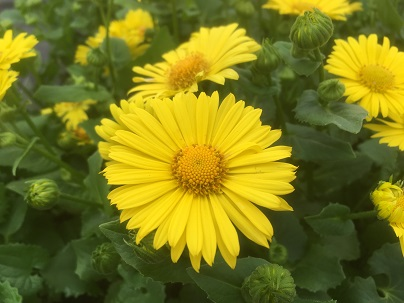 Doronicum or.′Leonardo′
