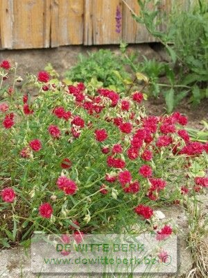 Helianthemum ′Amabile Plenum′