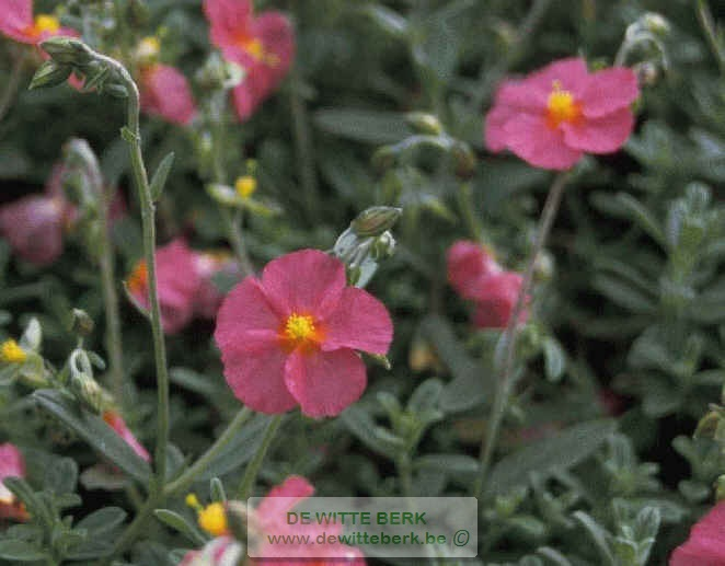 Helianthemum ′Ben Hope′