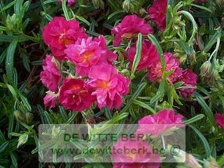 Helianthemum ′Cerise Queen′