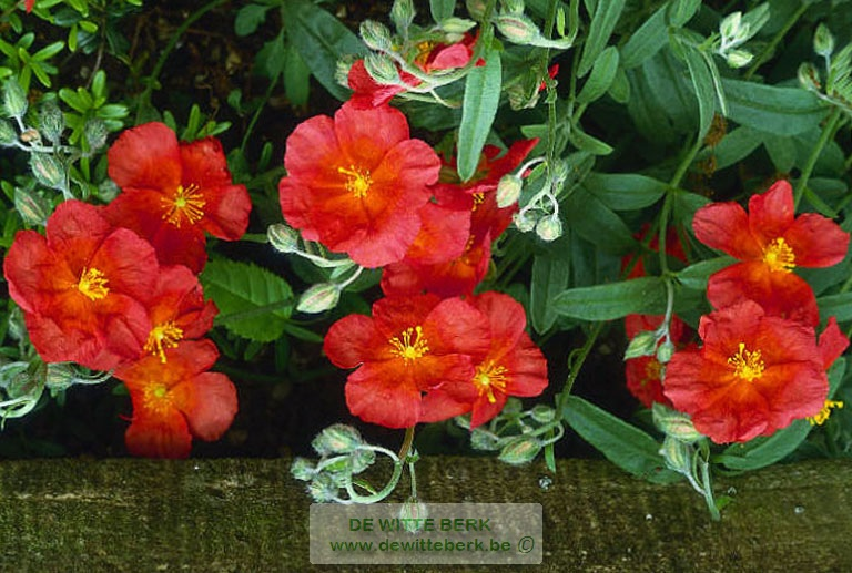 Helianthemum ′Fire Dragon′
