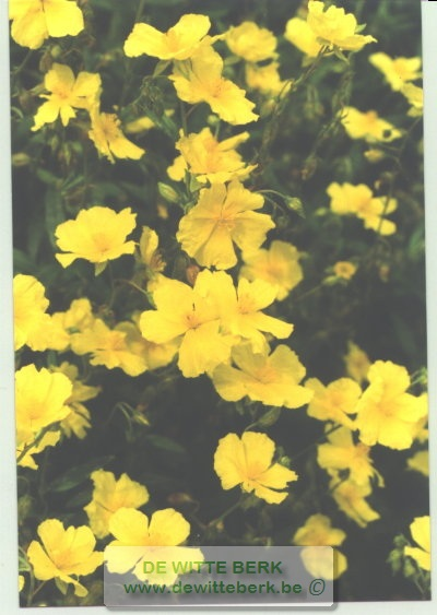 Helianthemum ′Golden Queen′