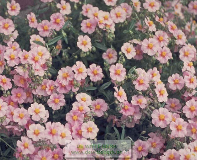 Helianthemum ′Lawrenson′s Pink′