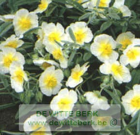 Helianthemum ′Snow Queen′