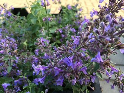 Nepeta faassenii ′Walkers Low′