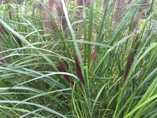 Pennisetum alop. ′Red Head′