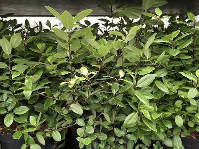Pittosporum ten.′Golf Ball′