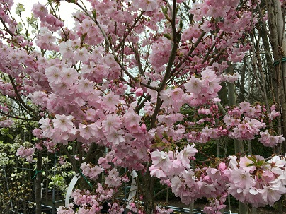 Prunus ′Accolade′