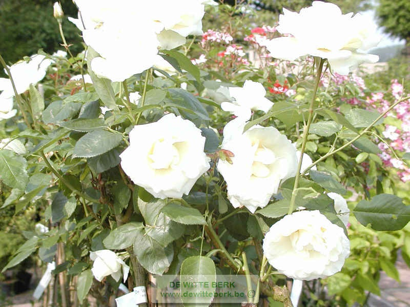 Rosa (TH) ′White Symphonie′