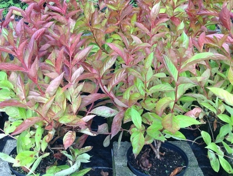 Weigela florida ′Wings of Fire′